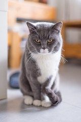 The British Shorthair cat, taken indoors