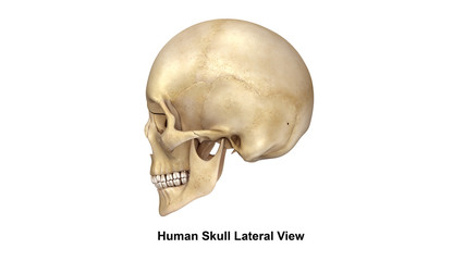 Human Skull_Lateral view