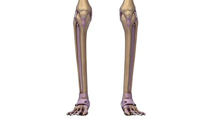 Skeleton legs with ligaments