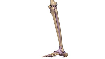 Skeleton legs with ligaments side
