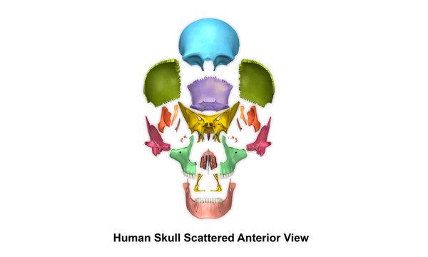 Human Skull_Anterior view