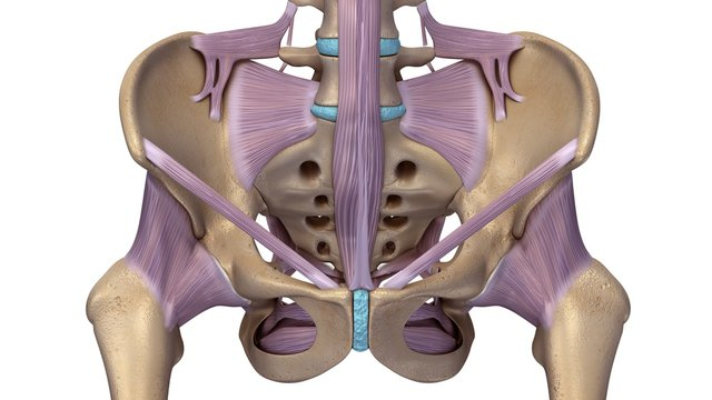 Skeleton hip with ligaments