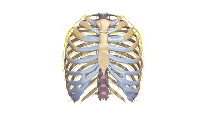 Ribs with Ligments and Nerves anterior view