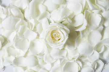 Fresh white rose flower on white rose petales