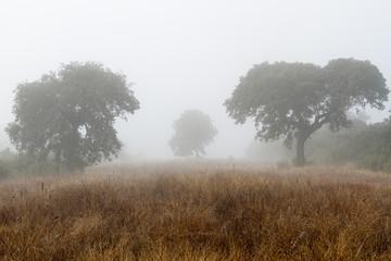 Campo en invierno con encinas y niebla. Quercus ilex.