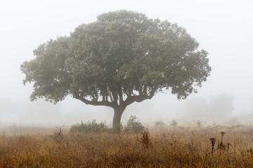 Encina y niebla en invierno. Quercus ilex.