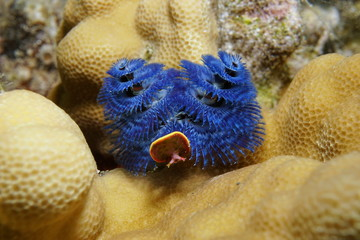 Sea life, a blue christmas tree worm, Spirobranchus giganteus, fixed on lobe coral, Tahiti, Pacific ocean, French Polynesia