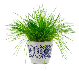 Green onion scallions in a pot isolated over the white backgroun