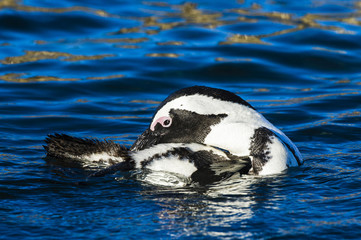 African Penguin preening and bathing