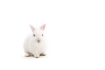 Isolated image of a cute polish baby rabbit