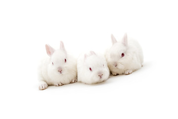 Isolated image of three cute polish baby rabbits