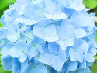 淡いブルーのアジサイ