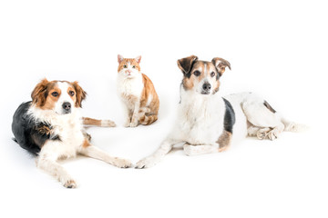 Isolated image of two dogs with one cat in the middle