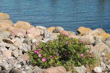 Steinig, Ostseestrand, Wildblumen
