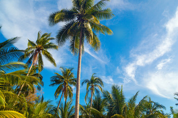 Coconut palm trees, beautiful tropical background, in blue sunny