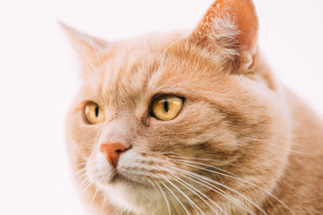 Close Up Of Funny Fat Red Cat