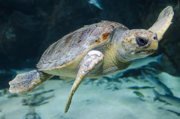 Sea turtle in the aquarium