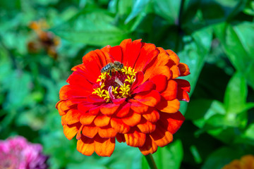 bee sits on a flower of red zinnia