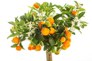 Tangerine orange fruits on tree