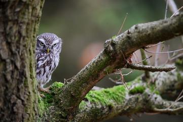 Fototapete - Suspicious Little owl