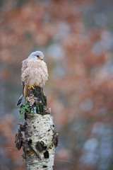 Fototapete - Common kestrel on birch