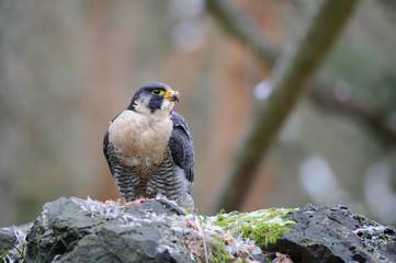 Fototapete - Peregrine Falcon tearing prey