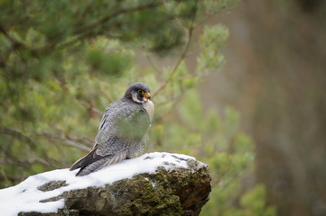 Fototapete - Peregrine Falcon sitting on rock