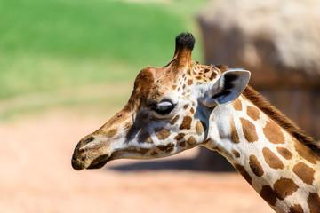 Wild African Giraffe Head Portrait