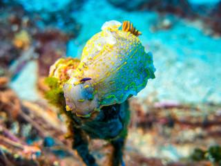 Nudibranch mediterranean
