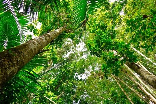 Looking up in the rain forest, El Yunque, Puerto Rico