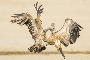 Fighting White-Backed Vultures