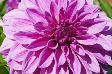 Beautiful purple dahlia flower in sunlight