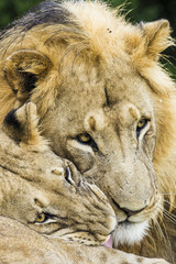 Lion and lioness rubbing faces affectionatley