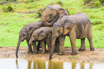 A small group of young African Elephants bunch together affectio