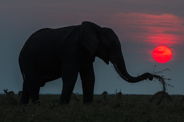 African elephant feeding on the banks of the Chobe River