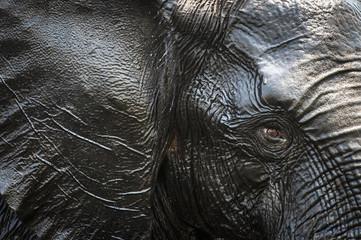 Close up of African elephant bull, Kasane, Botswana