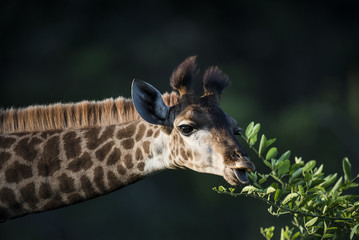 Giraffe feeding on new leaf shoots