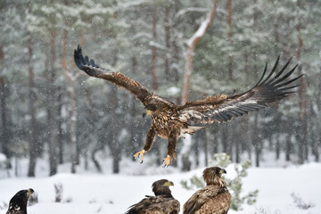 Eagle approaching, eagle arrival, eagle landing. Bird of prey: White-tailed eagle.