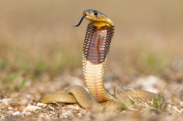 Juvenile Cape Cobra with distinctive brown band and raised hood