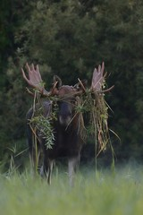 Moose bull with dressed up antlers