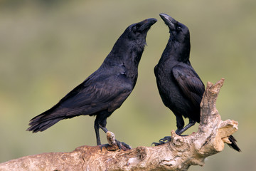 Male and female of Common raven in mating season. Corvus corax