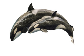 A killer whale mother, Orcinus Orca, with a baby orca, jumping together. Isolated on white background.
