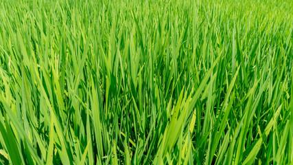 Rosnący ryż