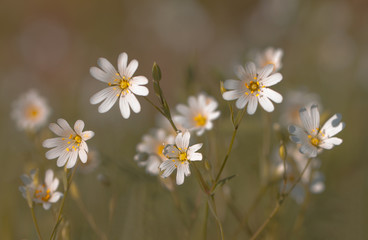 Blütentraum -  Sternmieren (Stellaria)