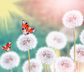 fluffy dandelion flowers on a background of the spring landscape