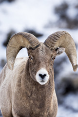 A Bighorn Sheep In Snow