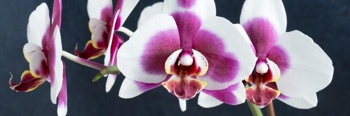 Phalaenopsis Orchidee vor schwarzem glitzerndem Hintergrund