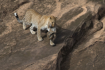 Female leopard carrying her cub to safety with rock as the background. Taken in Kenya