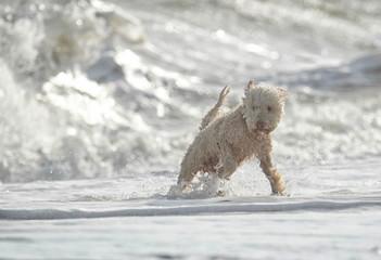 Hund spielt in Wellen am Meer