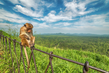 Sri Lanka: monkey in jungle of Sigiriya